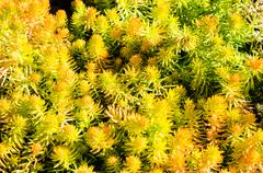 sedum plants used for sustainable plantings - stock photo