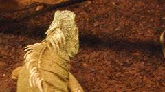iguana 01 - stock footage