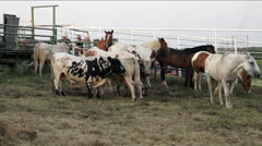 Cattle and horses corralled behind a fence - stock footage