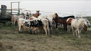 Stock Video Footage of Cattle and horses corralled behind a fence