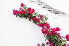 Crawling roses Stock Photos