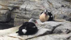 Male King Eiders (Somateria spectabilis) Sea Ducks Stock Footage