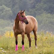 quarter horse - stock photo