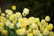 Stock Photo of many yellow tulips