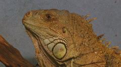 iguana 05 - stock footage