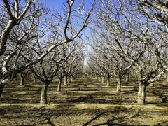 Bare trees growing in orchard Stock Photos