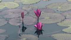Purple lotus on pond Stock Footage
