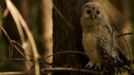 Owl1 Stock Footage