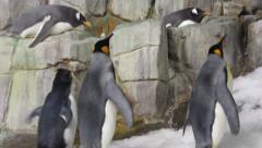 King Penguins go for a stroll - stock footage