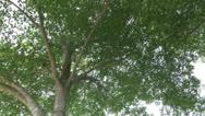 Terminalia ivoriensis tree01 Stock Footage