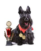 Scotch terrier with golg cup Stock Photos