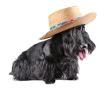 sitting  scotch terrier - stock photo