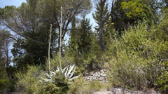 Large flowering cactus in south France Stock Footage