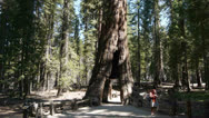 Stock Video Footage of giant sequoia time lapse