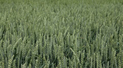 grain blowing in the wind - stock footage