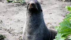 Aggressive sea mammal on a beach Northern fur seal (Callorhinus ursinus) Stock Footage