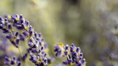 Lavender Flower Buds in Close Up Stock Footage