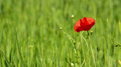 POPPY FLOWER AGAINST GREEN FIELD  IN A WINDY DAY Stock Footage