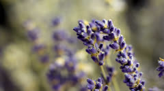 Lavandula Flower in Close Up Shoot Slide to Side Stock Footage