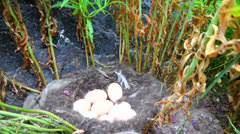 high stalks of a grass and nest of scoter (Melanitta) in them Stock Footage