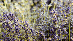 Lavender Flower on Black Backround in Medium shoot Stock Footage