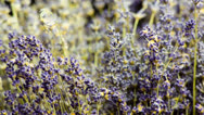 Stock Video Footage of Lavender Flower on Black Backround in Medium shoot