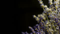 Lavandula Flower in Medium Shoot Sliding from Side on black backround Stock Footage