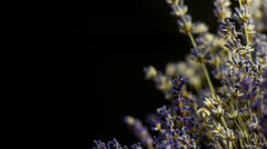 Slide from side on Lavandula Flower Buds in Medium Shoot in black background Stock Footage