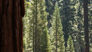 Stock Video Footage of giant sequoia grove
