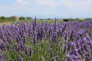Stock Photo of Lavender Field 06