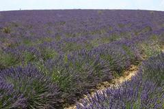Lavender Field 05 Stock Photos