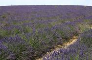Stock Photo of Lavender Field 05