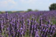 Stock Photo of Lavender Field 02