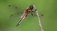 dragonfly sits on a branch, depart and arrive again - stock footage