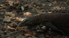Komodo dragon moves along the bed of the stream Stock Footage