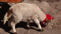 Moving lamb in knitted cap Stock Footage