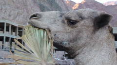 Head of a camel chewing palm branch Stock Footage
