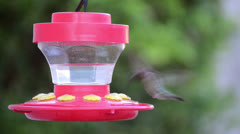 Humming Bird Outdoor Feeder Water Beak Nibbling Buzzing Wings Hovering Floating Stock Footage