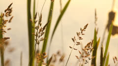 Beautiful wild plants near the lake in the evening, warm hue, atmospheric Stock Footage