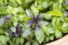 Closeup shot of sweet basil in clay pot Stock Photos