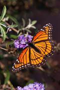 Viceroy butterfly on butterfly bush flowers - stock photo