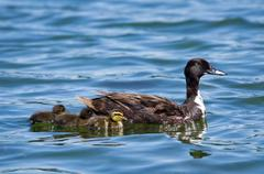 Female duck and her newborn ducklings Stock Photos