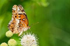 Variegated Fritillary butterfly - stock photo