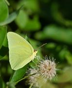 Cloudless Sulphur butterfly - stock photo