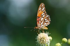 Gulf Fritillary butterfly - stock photo