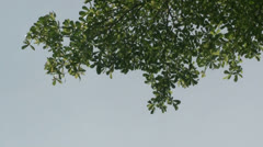 Terminalia ivoriensis tree03-Treetop Stock Footage