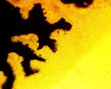 Common liver fluke (Fasciola hepatica) digestive system-permanent slide plate - stock photo