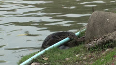 Monitor Lizard approaches another Stock Footage