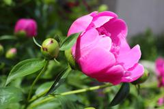 beautiful peony flower on a bed in the garden - stock photo
