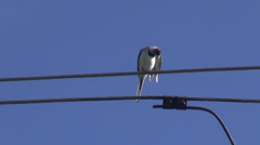 Bird white wagtail on electrical wire Stock Footage